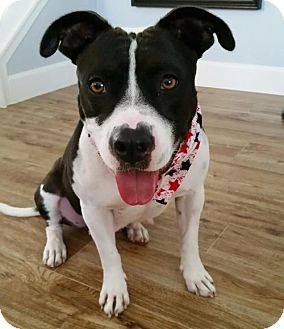 American Staffordshire Terrier Mix Dog for adoption in San Diego, California - Kira