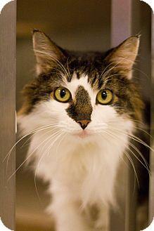 Domestic Mediumhair Cat for adoption in Grayslake, Illinois - Yoda