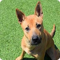 Finnish Spitz Mix Dog for adoption in Atlanta, Georgia - MABEL