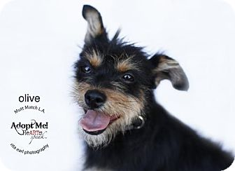 Terrier (Unknown Type, Medium) Dog for adoption in Castaic, California - Olive