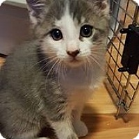 Adopt A Pet :: Tomatin (Tom) - Greenville, NC