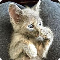 Adopt A Pet :: Mystic - Austin, TX