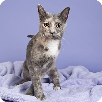 Domestic Shorthair Cat for adoption in Wilmington, Delaware - Zoe