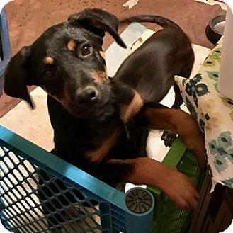 Shepherd (Unknown Type) Mix Puppy for adoption in chicago, Illinois - Emmett