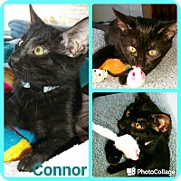 Adopt A Pet :: Connor - Arlington/Ft Worth, TX