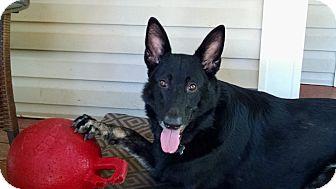 German Shepherd Dog Mix Dog for adoption in Nashua, New Hampshire - Raina
