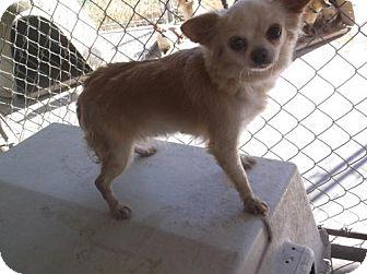 Chihuahua Dog for adoption in Bonifay, Florida - Carmela
