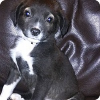 Chihuahua/Terrier (Unknown Type, Small) Mix Puppy for adoption in DeForest, Wisconsin - Bootsy