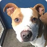 Adopt A Pet :: Royce - Springdale, AR
