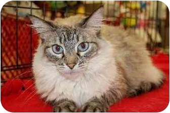 Himalayan Cat for adoption in Germantown, Tennessee - Naomi