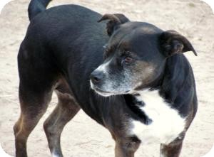 Boston Terrier Mix Dog for adoption in Quinlan, Texas - Bossy Mom