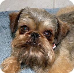 Brussels Griffon/Affenpinscher Mix Dog for adoption in Los Angeles, California - VOLUNTEERS NEEDED in CA