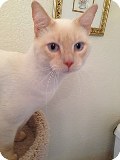 Colorpoint Shorthair Cat for adoption in Fountain Hills, Arizona - JETSON