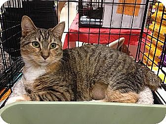 Domestic Shorthair Kitten for adoption in Miami, Florida - Millie