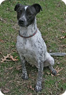 German Shorthaired Pointer Mix Dog for adoption in Lufkin, Texas - Dutchess