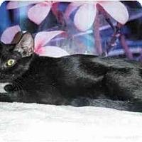 Burmese Cat for adoption in West Los Angeles, California - Bermuda