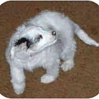 Adopt A Pet :: Faith - Mesa, AZ