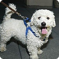 Adopt A Pet :: Sailor - New York, NY