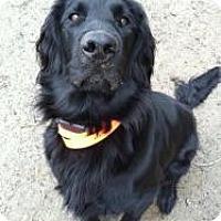 Adopt A Pet :: Bogie - Newtown, CT