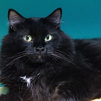 Domestic Mediumhair Cat for adoption in Topeka, Kansas - Arthur