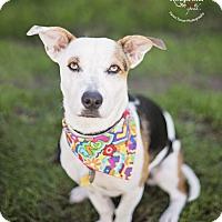 Adopt A Pet :: Munchkin - Kingwood, TX