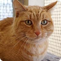 Domestic Shorthair Cat for adoption in Tucson, Arizona - Gina