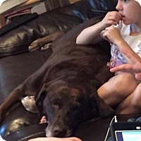 Labrador Retriever Dog for adoption in Encino, California - Hershey