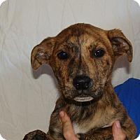 Adopt A Pet :: Cupcake - Oviedo, FL