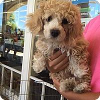 Adopt A Pet :: Jiffy - Manhattan Beach, CA