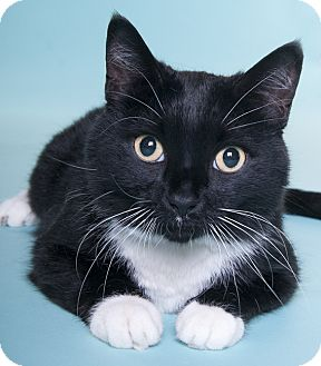 Domestic Shorthair Cat for adoption in Chicago, Illinois - CC