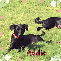 Adopt A Pet :: Addie - Rowlett, TX