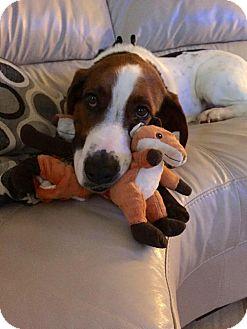 Basset Hound Mix Dog for adoption in Wylie, Texas - Wilson