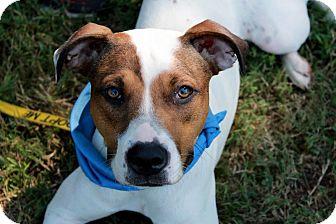 Boxer/Terrier (Unknown Type, Medium) Mix Dog for adoption in Youngsville, North Carolina - Dakoda