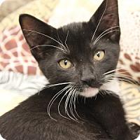 Domestic Mediumhair Kitten for adoption in Naperville, Illinois - Daisy