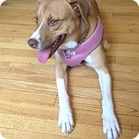 Labrador Retriever/Corgi Mix Dog for adoption in Forked River, New Jersey - Sandy