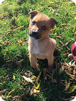 Border Collie/Shepherd (Unknown Type) Mix Puppy for adoption in Saskatoon, Saskatchewan - Rosie
