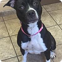 Pit Bull Terrier Mix Dog for adoption in Joplin, Missouri - Ellen 4922