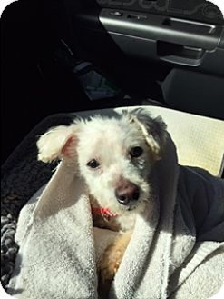 Maltese Mix Dog for adoption in Fort Lauderdale, Florida - MAGGIE