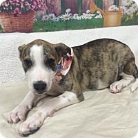 Adopt A Pet :: LEXI - Fort Pierce, FL