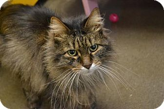 Domestic Longhair Cat for adoption in Akron, Ohio - Mike Tyson