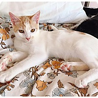 Domestic Shorthair Kitten for adoption in Redding, California - Butterfly