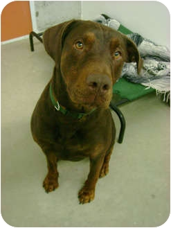 Elsa Adopted Dog Creston Bc Doberman Pinscher