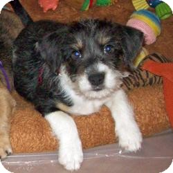 Yorkie, Yorkshire Terrier/Dachshund Mix Puppy for adoption in The Villages, Florida - Domino