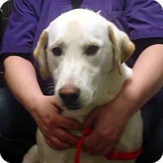 Labrador Retriever Mix Dog for adoption in baltimore, Maryland - Bunker