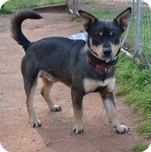 Corgi Mix Dog for adoption in Greensboro, Georgia - Bogart