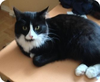 Domestic Mediumhair Cat for adoption in Montreal, Quebec - *URGENT Oreo