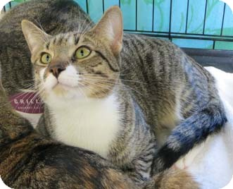 Domestic Shorthair Cat for adoption in Merrifield, Virginia - Patches