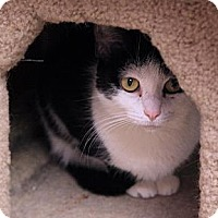 Domestic Shorthair Kitten for adoption in Tempe, Arizona - Abbie