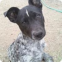 Adopt A Pet :: Linus - Adoption Pending - Phoenix, AZ