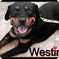 Adopt A Pet :: Westin - Gilbert, AZ